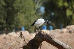 ibis alain unitedarabemirates sacredibis wadingbirds aquaticbirds alainzoo alainzoologicalpark
