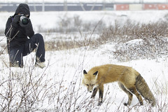 """A red fox in Churchill, Manitoba. • <a style=""""font-size:0.8em;"""" href=""""http://www.flickr.com/photos/92120860@N06/8454775696/"""" target=""""_blank"""">View on Flickr</a>"""