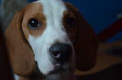 Oliver! (Mara Isabel Vera M) Tags: dog pet cute love beagle beautiful nice nikon lovely d5100