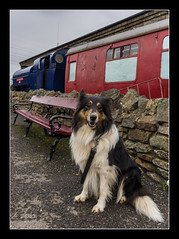 Lucy at Avon Valley Railway (Travels with a dog and a Camera :)) Tags: uk england dog southwest west art heritage digital photoshop bench dc lucy coach mixed collie pentax unitedkingdom south border platform engine sigma railway andrew gloucestershire valley bordercollie 1020mm avon bennett febuary 43 k5 lightroom southgloucestershire avonvalleyrailway andrewbennett cs6 willsbridge 2013 1456 heritagerailway justpentax sigma1020mm1456dc mixedcollie pentaxart pentaxk5 photoshopcs6 lightroom43