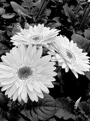 Daisy (ihrulez) Tags: flowers blackandwhite photography pretty greenhouse daisy
