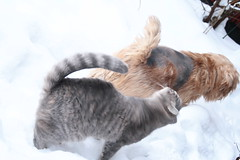 008 (piaktw) Tags: winter dog snow cat kitten norfolk terrier britishshorthair malte got luddkolts