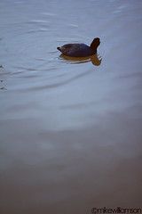 Duck (mikewilliamsonphotos) Tags: las vegas lake water duck lakes blues browns bodiesofwater lakelasvegas aquatics mikewilliamson mikewilliamsonphotos mikewilliamsonproductions
