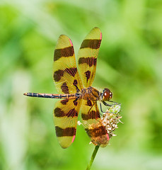 Halloween Pennant (Celithemis eponina) (monon738) Tags: macro nature closeup bug insect wings pentax dragonfly indiana 300mm pennant odonata libellulidae celithemis halloweenpennant celithemiseponina whitleycounty k20d smcpda300mmf40edifsdm pisgahmarsharea