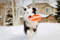 Snow Dog (Anda74) Tags: winter orange snow action running frisbee bordercollie february ouzo canonef70200mmf4lusm