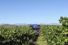 Harvesting of grapes on Van Loveren Wine Estates in Ashton - South Africa 2010 (Wilma v H - thanks so much for lovely feedback! Ru) Tags: southafrica western cape farms ashton westerncape cannas redcannas grapeharvesting ashtonsouthafrica vanloverenwineestates breederivierwinelands