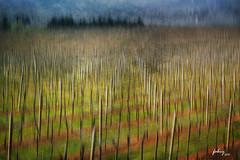 Vineyard (jbourne43) Tags: italy abstract texture painting fineart motionblur postprocess veneto valpolicella