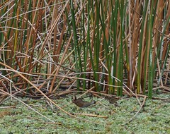 Little Sora in the reeds (tkmckinn) Tags: auto photography is friend flash owp