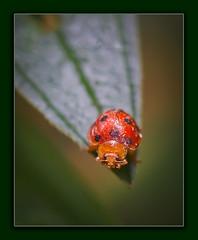 ladybird (Albert Photo) Tags: red macro cute bug insect ladybird beetles coccinellidae