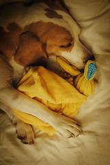 Sweet dreams, monkey (Vanilla Monkey Bear) Tags: dog cute bunny beagle sleepy