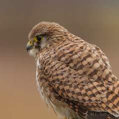 Common kestrel @ national park de Biesbosch (Marcel Tuit) Tags: holland bird me nature canon de eos nationalpark wildlife nederland thenetherlands 7d predator birdofprey vogel biesbosch noordbrabant falcotinnunculus torenvalk commonkestrel roofvogel nationaalpark natuure marceltuit