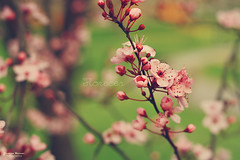 Florecer (Yavanna Warman {off}) Tags: pink flowers naturaleza flores flower green nature canon cherry eos 50mm petals spring focus soft branch dof blossom bokeh rosa bloom cherryblossom f18 sprout springtime cerezo brotes florecer milde 1000d yavannawarman
