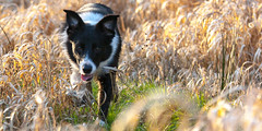 Pretty Dog (Bas Bloemsaat) Tags: dog mac action border bordercollie