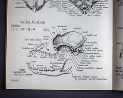 """""""all the better to eat you up with"""" (penwren) Tags: dog detail history animal illustration handwriting skull book teeth canine page lettering biological textbook blackink crosshatching anatomical zoological dentition biologicaldrawing"""