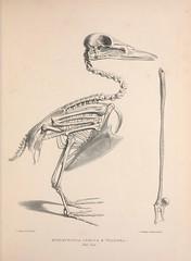 n26_w1150 (BioDivLibrary) Tags: anatomy birds bones smithsonianinstitutionlibraries bhl:page=41399167 dc:identifier=httpbiodiversitylibraryorgpage41399167 2016bioblitz pagefrights halloween
