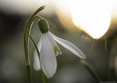 66/365 (AGB Photography) Tags: white flower spring nikon sigma day66 snowdrop d7000 day66365 3652013 agbphotography 365the2013edition 07mar13