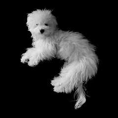 week one | kung fu Boo. (p r i m e r) Tags: blackandwhite monochrome puppy naturallight boo maltipoo justwakingup