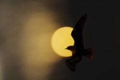 Solar Eclipse (False Alarm) (HOWLD) Tags: sunset canon solar eclipse seagull manualfocus solareclipse howd oaklandlake 135mmf2 oaklandgardens 5dmiii howardlaudesign