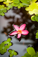 Folow in a Lake (Hendrik Schicke) Tags: travel pink sea lake fish flower reflection leaves canon thailand photography gold golden asia purple bangkok floating backpacking backpack bloom float ef2470mmf28lusm blooming 5dmarkii hendrikschicke