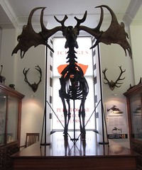 Sedgwick big elk (shaggy359) Tags: cambridge irish window giant skeleton display earth antlers bones bone elk gigantic sciences reconstruction museam antler giganteus sedgewick megaloceros
