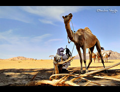Break Time ! (Bashar Shglila) Tags: life city trees light shadow portrait sky mountains sahara desert natural dunes daily camel li
