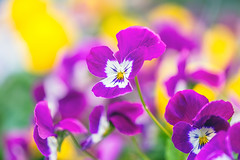 Pansy (Jas Bassi) Tags: flowers flower macro nikon purple pansy pa jas bucks purpleflower 105mm jassi yellowpansy purplepansy flowerphoto jasbassi jasbassiphotography beautifulpansy paddlersvillage