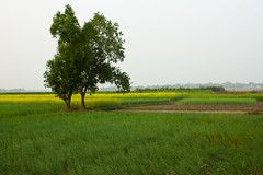 Cultivation(Yellow~Green) (Sandeep Santra) Tags: india plant tree green nature field canon landscape eos evening details mustard cultivation westbengal natureart 500d mustardflower incredibleindia bankura eveningscape efs1855mmf3556is jemua