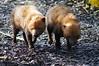 Bush Dogs (tim ellis) Tags: uk dog animal canine carnivore twycross twycrosszoo bushdog speothosvenaticus