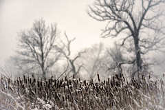 Knee deep in snow and over my head in cattails (amy buxton) Tags: trees snow cold spring snowstorm stlouis cattails