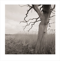 snape (Nick Moys) Tags: tree reeds suffolk ilfordhp5 deadtree marsh snape mamiyac220 55mmlens 320asa moerschfinol lightroom4 lensworkwarmtone