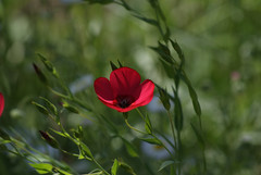 A touch of red among the wildflowers (phxdailyphotolady) Tags: red arizona flower phoenix poppy wildflower desertbotanicalgarden