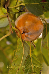 Persimmon (Common Var) at Mill Creek Marsh in Secaucus NJ (Meadowlands) (takegoro) Tags: trees orange plants fruits creek persimmon marsh nature meadowlands mill nj secaucus