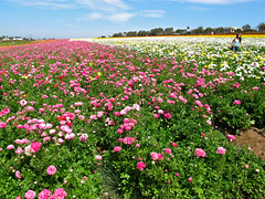 The Flower Fields at Carlsbad, California (Bennilover) Tags: ocean california flowers flower pacific blossoms ranunculus carlsbad yellowflowers theflowerfields