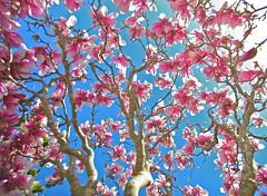 Rebirth (jurvetson) Tags: pink tree easter egg birddog bloom magnolia saucer hunt 2013