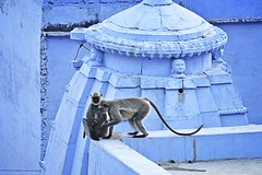 Bundi_monkeys 101 (peteypistolero) Tags: travel india nature wildlife monkeys rajasthan macaques bundi travelphotography travelphotos langurs peteypistolero canonrebelt2i peteschnell