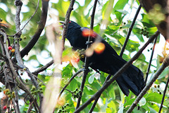 Asian Koel /  (Shoummo ()) Tags: birds asiankoel indiankoel birdsofbangladesh  bangladeshibirds saeedshoummo  shoummo   koelbird    deshibirds commonbangladeshibirds    asiankoelbird