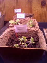 Petunia Starters - 4-2-13 (WillSeedForFood) Tags: starters