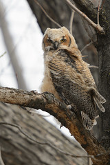 Owlet-45426.jpg (Mully410 * Images) Tags: bird birds birding raptor owl birdsofprey greathornedowl owlet burdr