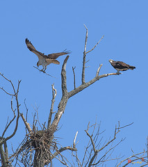 Osprey  Delilvering a Stick (DRB157) (Gerry Gantt Photography) Tags: usa bird nature virginia raptor osprey woodbridge naturephotography naturephoto occoquanbaynwr slbnesting occoquanbaynwrwoodbridge