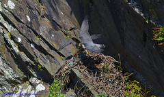 Adult Male and Female Peregrine Falcons.(An Old Ravens nest) (spw6156 - Over 5,065,001 Views) Tags: old copyright male female lens adult nest steve  iso cropped f28 ravens waterhouse peregrine 2x peregrinefalcon a converter14 falconsan stevewaterhouse hrefhttpwwwplymperegrinescouk relnofollowwwwplymperegrinescouka 800d800300mm httpwwwplymperegrinescouk plymperegrines stevewaterhouseperegrinefalcon stevewaterhouseplymperegrines