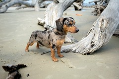 Pepper (MilkaWay) Tags: dog cute beach pepper mutt mix sand dachshund driftwood jekyllisland dackel coastalgeorgia driftwoodbeach glynncounty