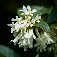 110328_291_Osmanthus x burkwoodii_.jpg (Alan Buckingham) Tags: white flower spring bush evergreen shrub osmanthusxburkwoodiisynosmareaxburkwoodii osmathus