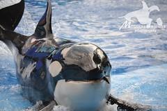 (Megakillerwhales) Tags: dolphin malia dolphins whale whales orca seaworld kayla shamu killerwhale orcas tilly killerwhales katina orcawhales nalani seaworldorlando shamushow orcawhale oneocean trua tillikum nikond3100 makaiko nalanidreamer megakillerwhales