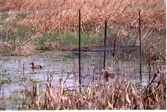 Trapping teal for research (Dan Small Outdoors) Tags: wisconsin teal research bluewingedteal dansmall outdoorsradio tealdecline wisconsindnrron gattiwaterfowl