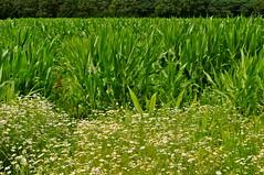 Groen landschap (Arjan Hamberg) Tags: netherlands landscape groen nederland landschap