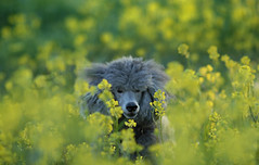 15_52/2 Un-mellow (The Pack) Tags: dog flower field grass yellow silver tag poodle mustard standard standardpoodle 85mmf14 52weeksfordogs