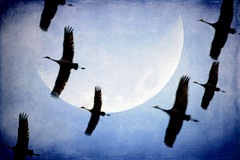 Night Flight (jackaloha2) Tags: moon texture birds silhouette photoshop canon wings nebraska flight textures fowl migration sandhillcranes texturedlayers canoneosdigitalrebelxsi tatot jackaloha2 photoshopcs5 vigilantphotographersunite