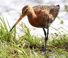 Godwit Grace (Ger Bosma) Tags: food reflection water grass reflections bill long feeding eating beak meadow wetlands elegant graceful stilts longlegs slender 151 filtering foraging godwit grutto blacktailedgodwit wadingbird limosalimosa waderbird uferschnepfe agujacolinegra bargequeuenoire pittimareale 404g mygearandme mygearandmepremium mygearandmebronze mygearandmesilver mygearandmegold mygearandmeplatinum mygearandmediamond rememberthatmomentlevel1 rememberthatmomentlevel2 img83101afiltered