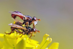 Duel (ste.it) Tags: macro conopidae tamron90