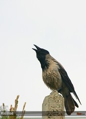 Crow (Reza-ir) Tags: city animal iran crow